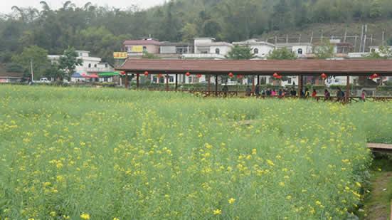 广州一日游到梯面镇红山村观赏油菜花