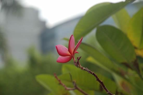素馨花是广州清代产量最大的鲜花
