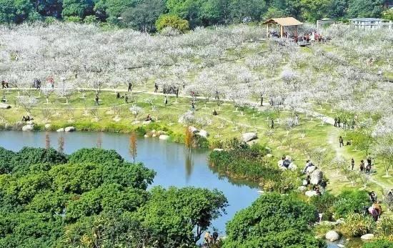 广州一日游到萝岗香雪公园欣赏梅花