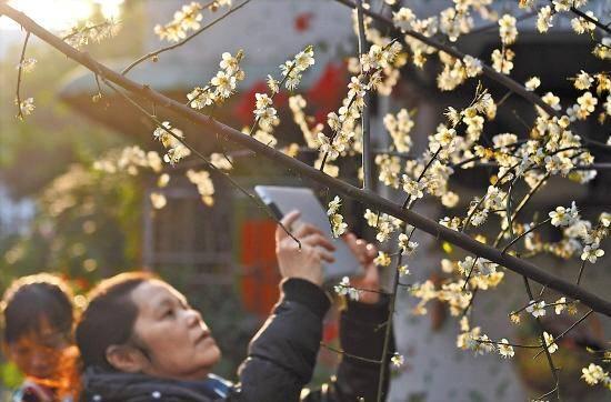 新年广州一日游到越秀区梅花村赏花
