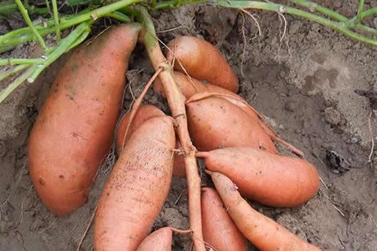吴川蕹菜薯你吃过了吗?