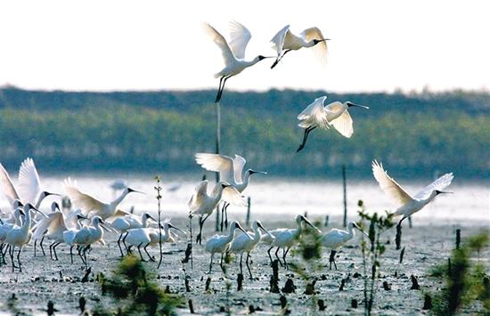 广州一日游到南沙湿地观赏黑脸琵鹭数