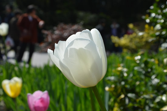 春节广州一日游一起观赏郁金香吧!