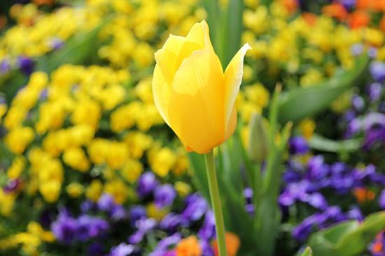 广州将于2月8日将办最大规模郁金香展览会