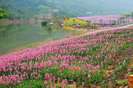 老广州过年喜欢到花埭游花田