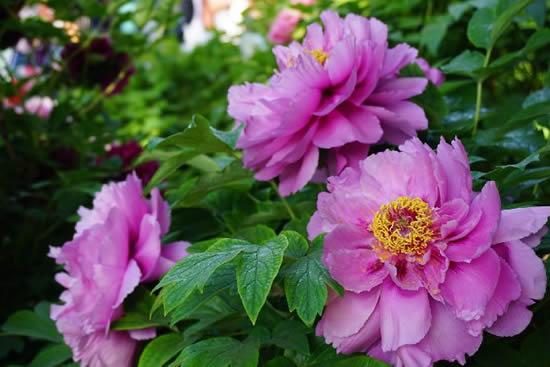 广州华南植物园第六届牡丹花展2月15日亮相