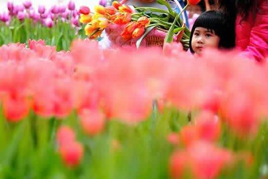 广州南沙郁金香品种展示会将于2月21日闭展