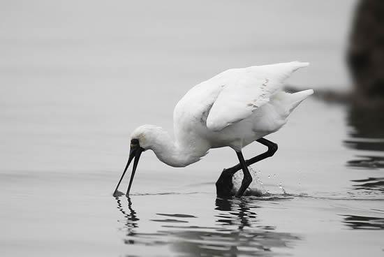周末一起到南沙湿地公园寻找黑脸琵鹭吧!