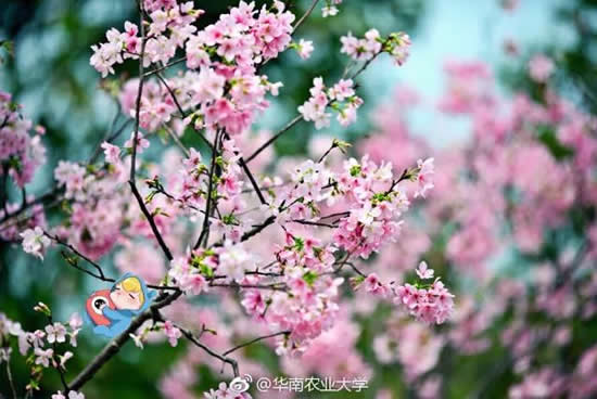华农每天20万人挤入赏花要开始限流了!