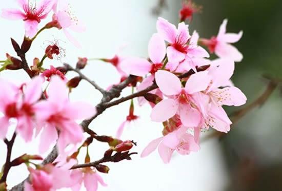 来琶洲赏花吧!广州本地樱花品种进入盛花期!