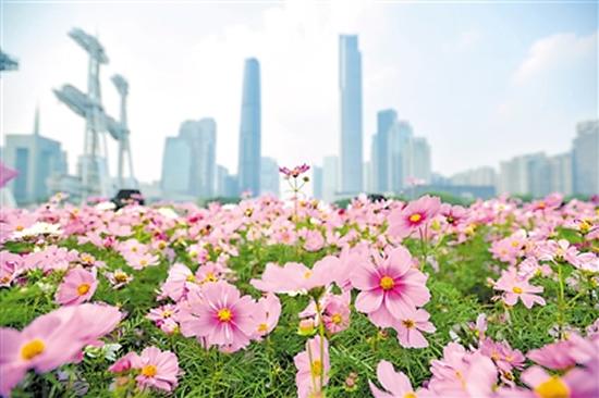 三月广州一日游到这些地方观赏波斯菊吧!