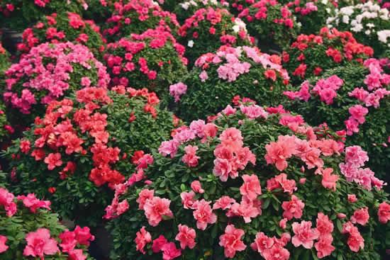 杜鹃花——一种有故事的名花