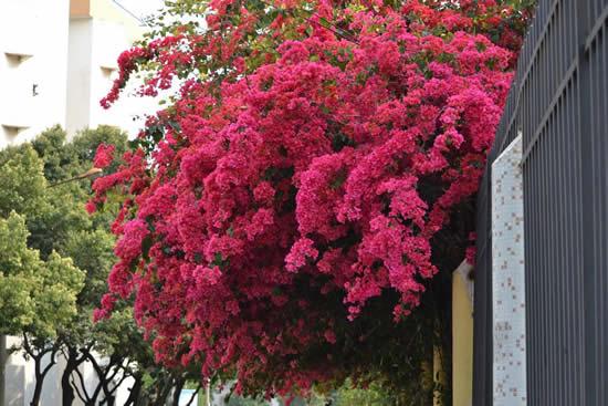 簕杜鹃成了当下广州最火花卉