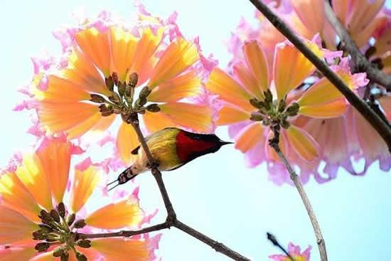 广州每年开花两次的粉花风铃木