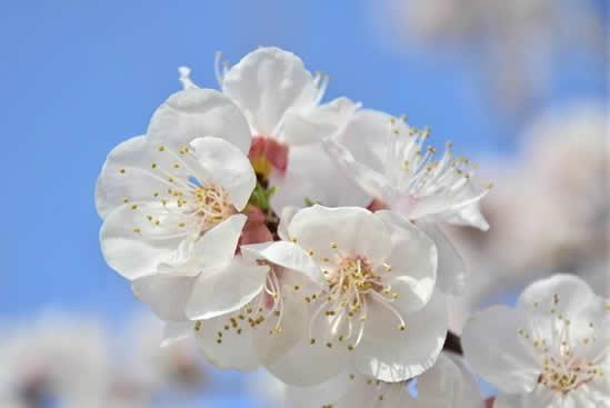 清明时节广州都有哪些鲜花盛开?