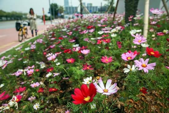 到广州白云新城观赏400平方米成片的波斯菊