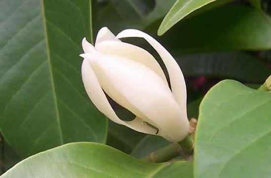 广州一日游带你到老城区里闻香访寻白兰花