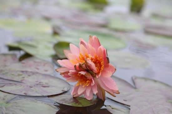 广州一日游到番禺莲花山景区观赏三蒂睡莲 出现概率不足百万分之一