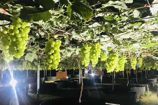 广州南国葡园园区一日游攻略,带你采摘品尝最新鲜的有机与绿色鲜食葡萄!