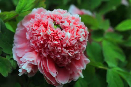 广州一日游哪里好玩?到华南植物园观赏新野牡丹品种!