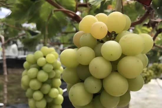 2018年第二届葡萄节在从化香蜜葡萄庄园开幕,8万斤葡萄等你来采摘!