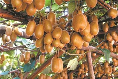 广东河源和平猕猴桃节开幕,被列为广东省级现代农业(猕猴桃)产业园!